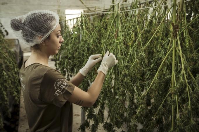 taim,,molekul, marihuaana, kannabidiool, kanepiseemneõli, kanepiõli, kanepi, kanep